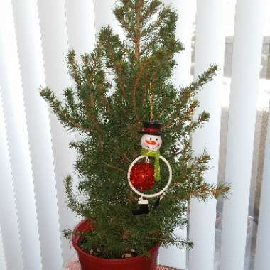 White Spruce 'Christmas Star'