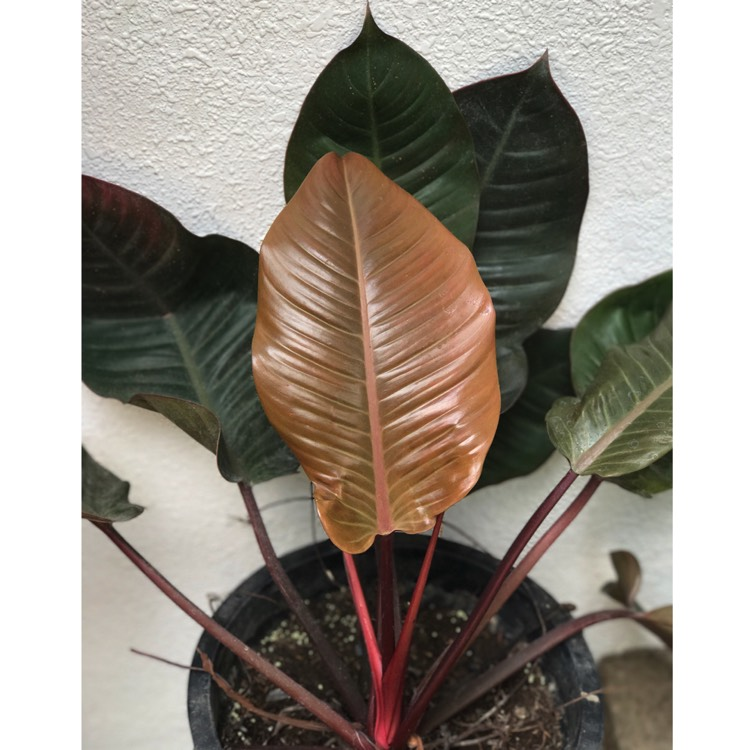Plant image Philodendron 'Black Cardinal' syn. Philodendron erubescens 'Black Cardinal'