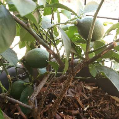 Lemon Tree 'Meyer Improved'