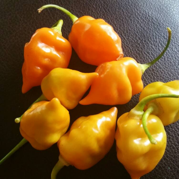 Habanada Pepper - uploaded by @nickyd513