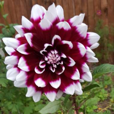 Dahlia 'Mystery Day' (Decorative)