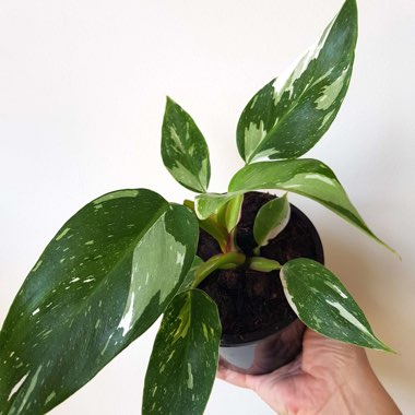 Philodendron 'White Princess'