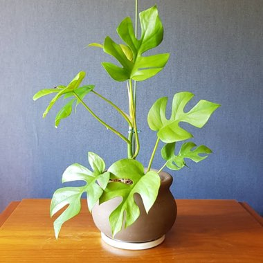 Mini Monstera