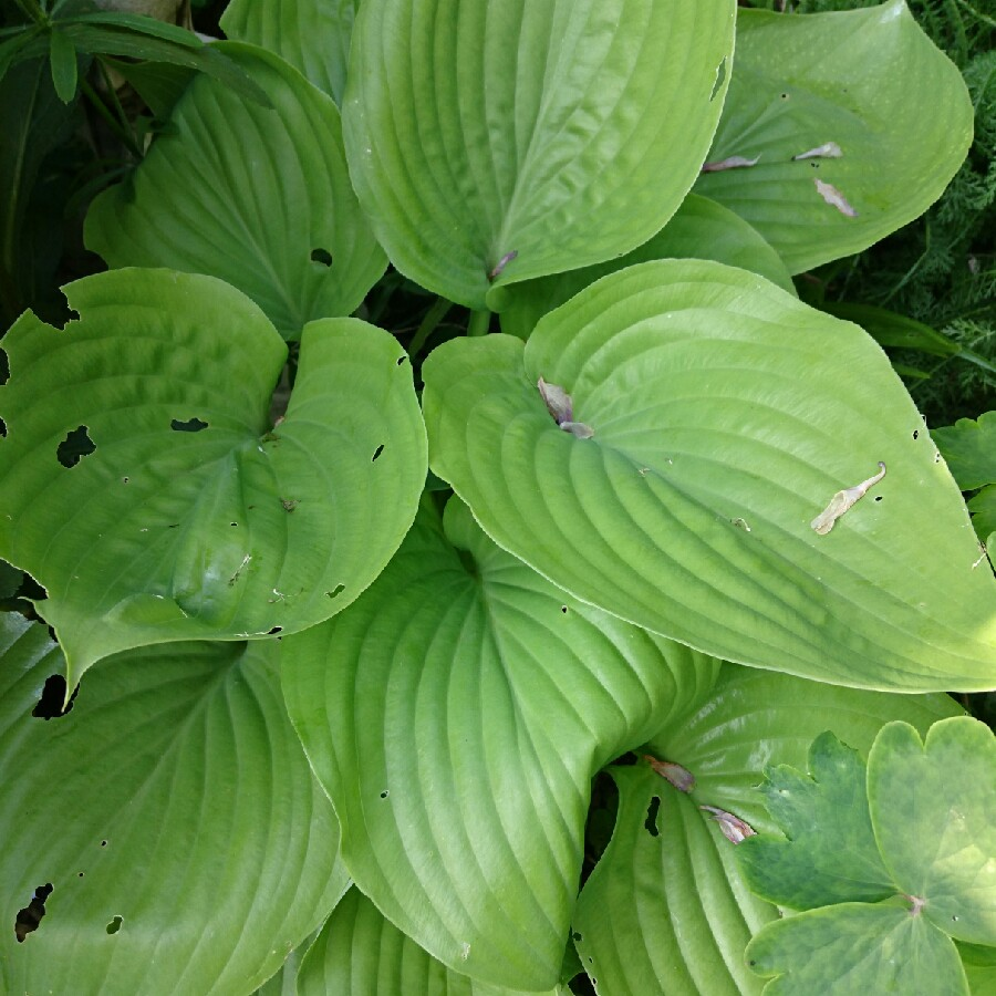Plant image Hosta 'Sum and Substance'