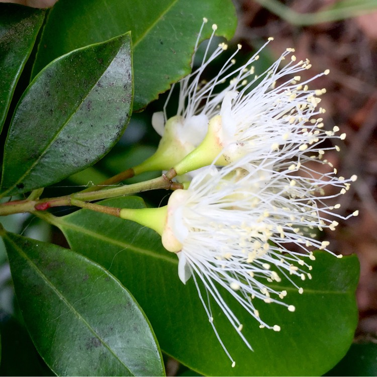 Комнатное растение сизигиум: уход в домашних условиях, фото