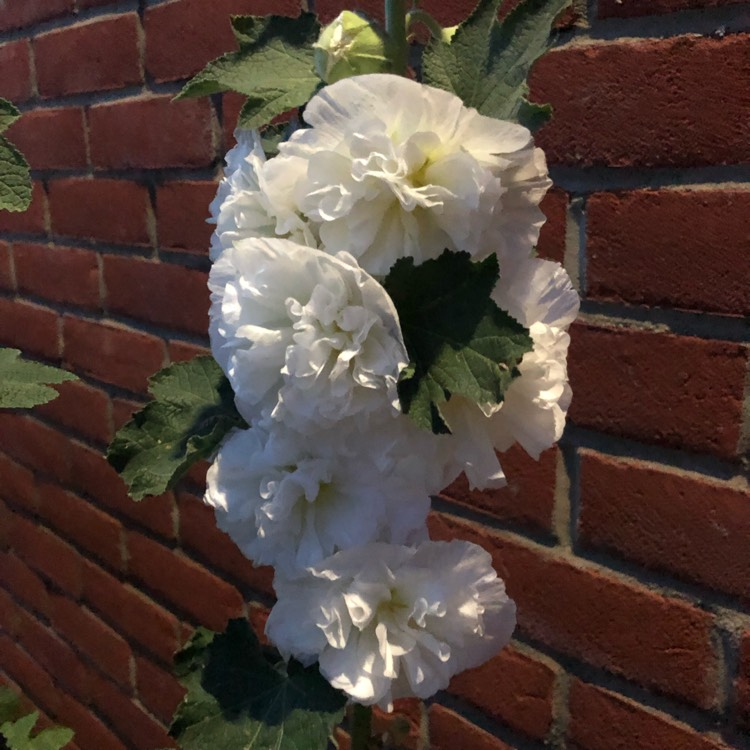 Plant image Alcea Rosea 'Chater's Double White'
