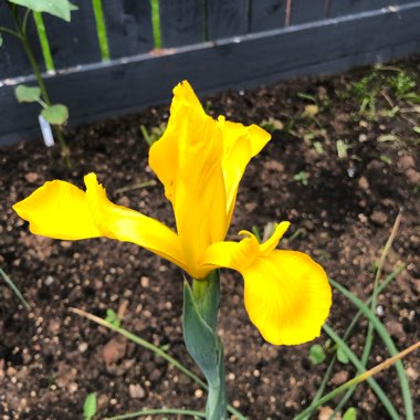 Dutch Iris 'Royal Yellow'