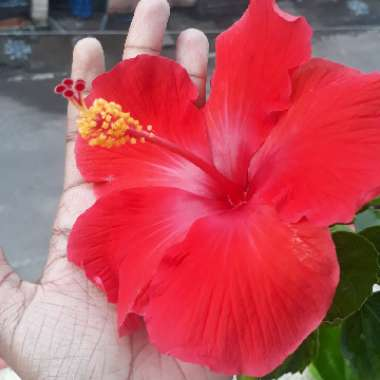 Hibiscus 'Ruby Red'