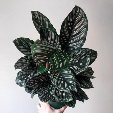 Pin-stripe Calathea
