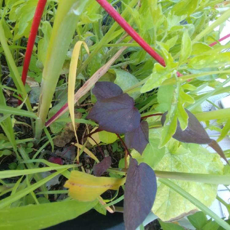 Hibiscus Tiliaceus Rubra Syn Tilapariti Tiliaceum Rubrum Red