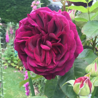 Rosa 'Deep Secret' syn. Rosa 'Mildred Scheel'