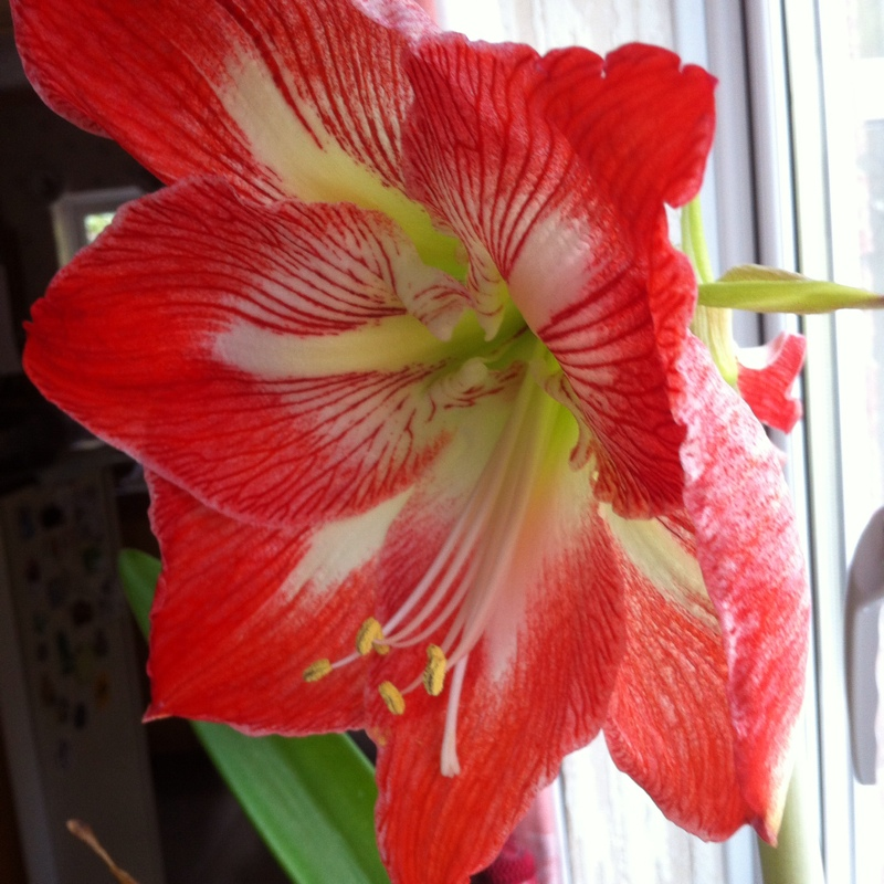 Plant image Hippeastrum 'Candy Floss'