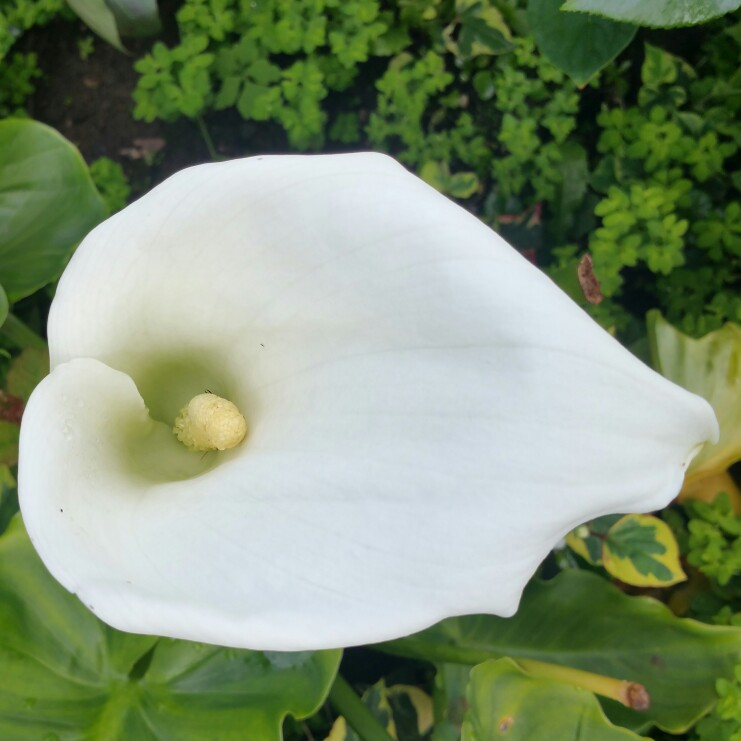 Zantedeschia 'White Giant'