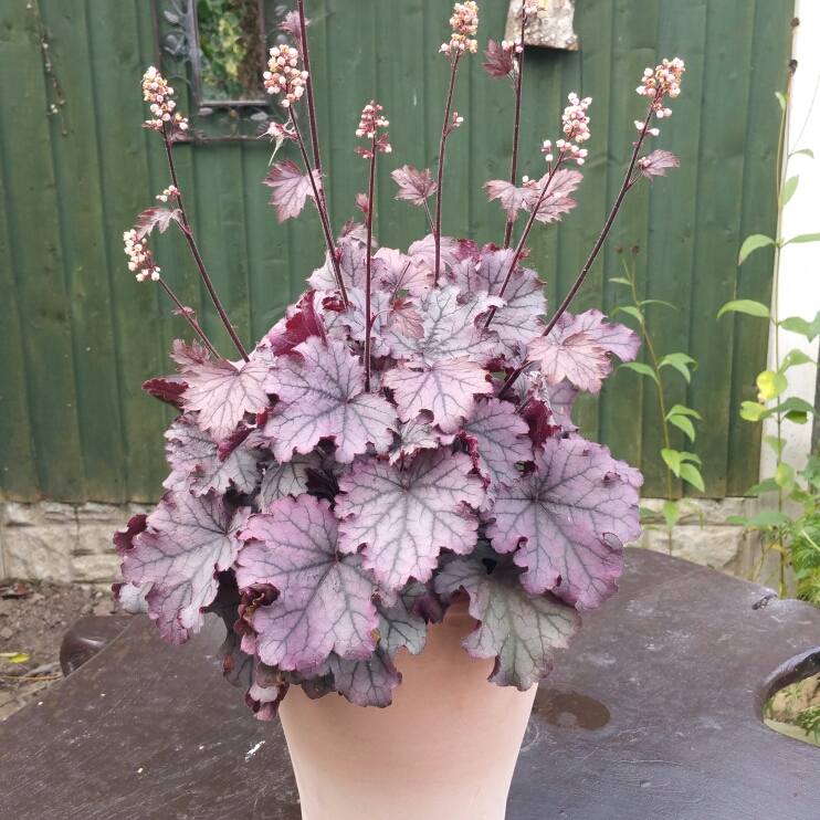 Plant image Heuchera Little Cutie 'Sugar Berry'