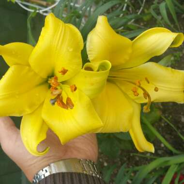 Lilium 'Golden Splendor Group'