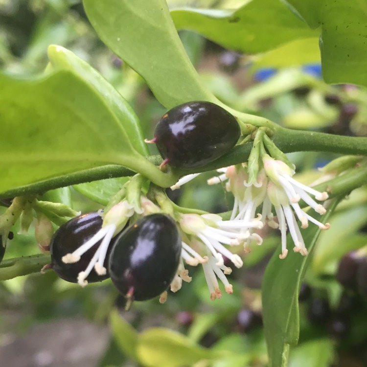 Plant image Sarcococca