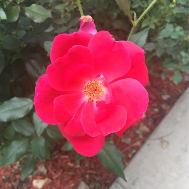 Rose 'Knock Out' (Shrub)