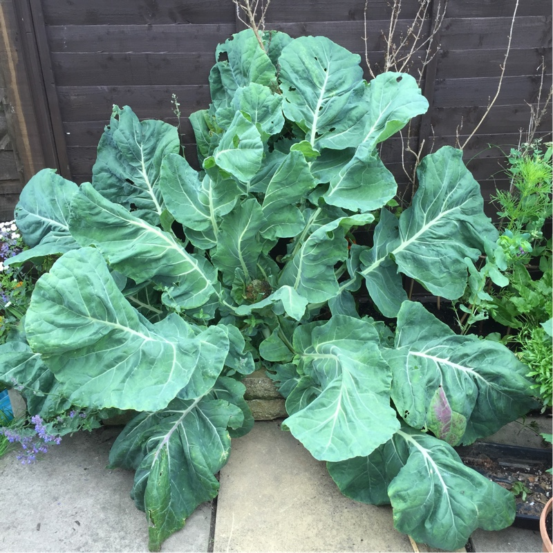 Plant image Brassica oleracea (Botrytis Group) 'All the Year Round'