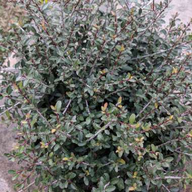 Bordeaux Yaupon Holly
