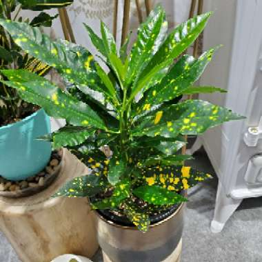 Croton 'Gold Dust'
