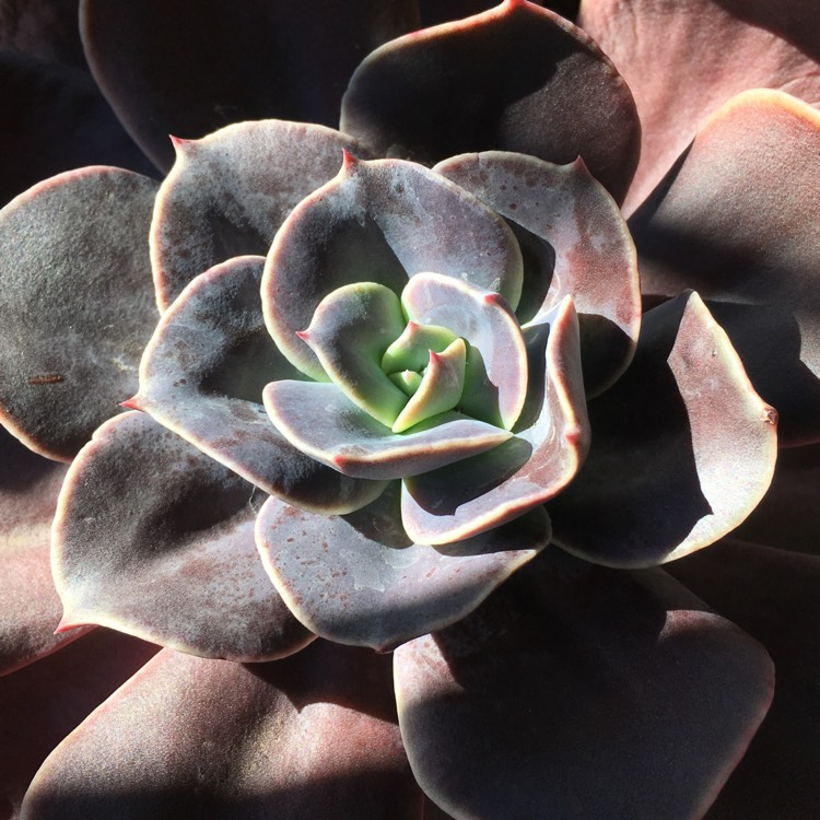 Plant image Echeveria Blue Metal