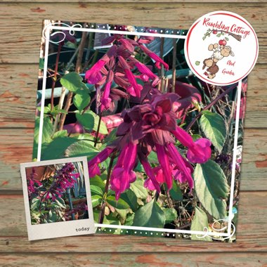 Salvia 'Serendip6' syn. Salvia 'Love and Wishes'