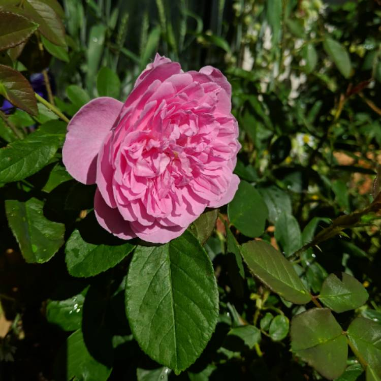 Plant image Rosa 'Aushouse' syn. Rosa 'Harlow Carr'