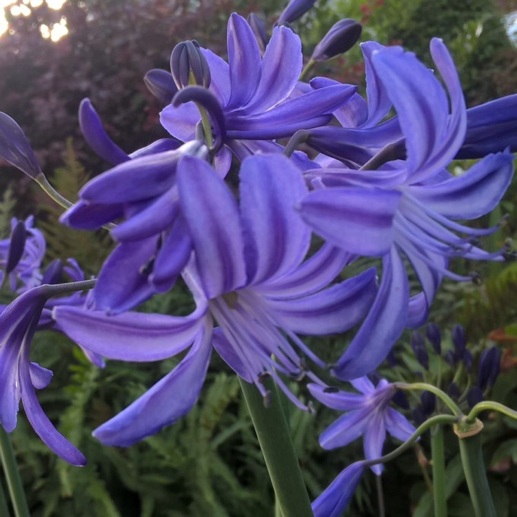 Plant image Agapanthus 'Northern Star'