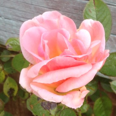 Rose 'Evening Light'