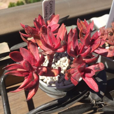 Crassula 'Red Tipped Butterfly Bush'