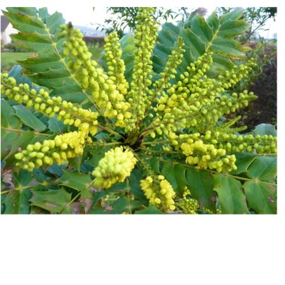 Plant image Mahonia x media 'Charity'