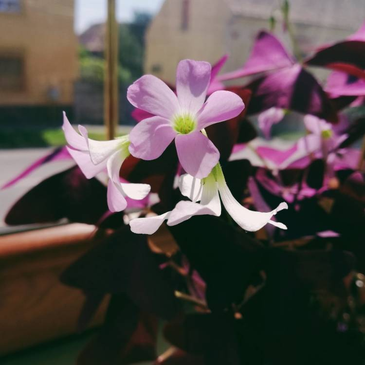 Plant image Oxalis triangularis