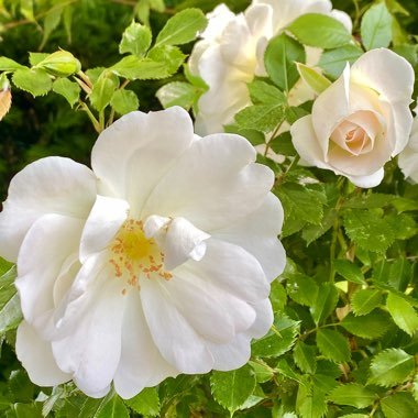 Rose 'Yorkshire Princess' (Miniature Patio)