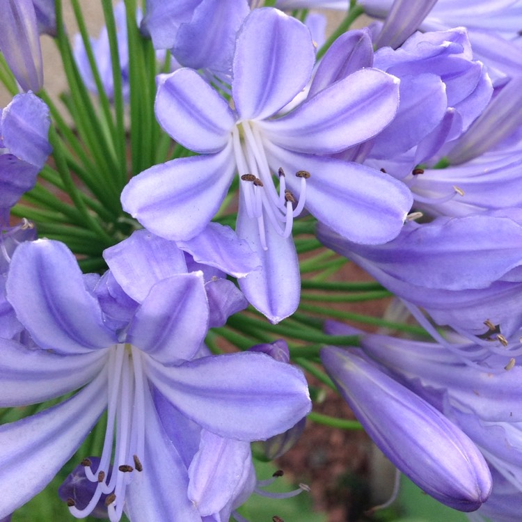 Plant image Agapanthus 'Midnight Star' syn. Agapanthus 'Navy Blue'