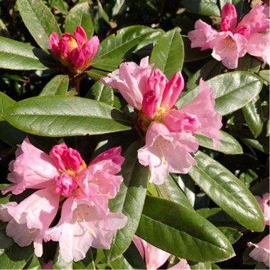 Rhododendron  (Rhododendron Varieties)
