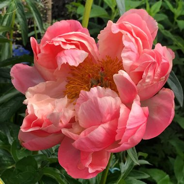 Paeonia Lactiflora 'Coral Charm'