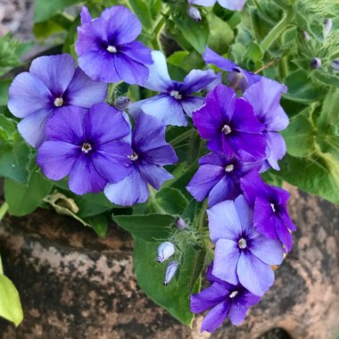 Phlox drummondii 'Moody Blues' (Mix)