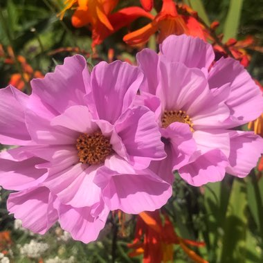 Cosmos Bipinnatus 'Double Click' (Mixed)