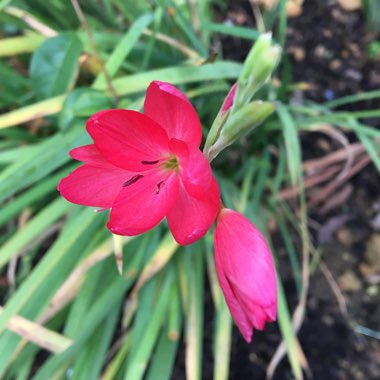 Hesperantha coccinea 'Oregon Sunset' syn.  Schizostylis coccinea 'Oregon Sunset'