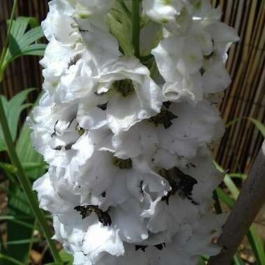 Delphinium 'Magic Fountains'
