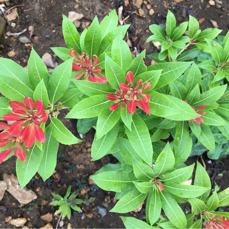 Plant image Pieris japonica 'Mountain Fire'