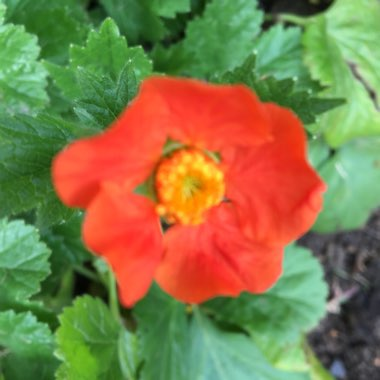 Geum coccineum 'Queen of Orange'