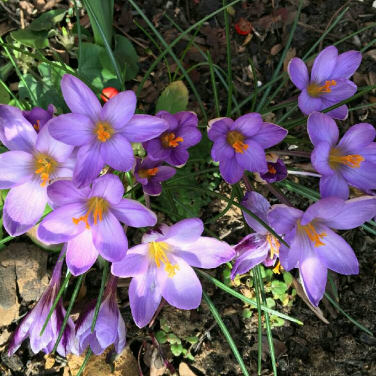 Plant image Crocus minimus 'Spring Beauty'