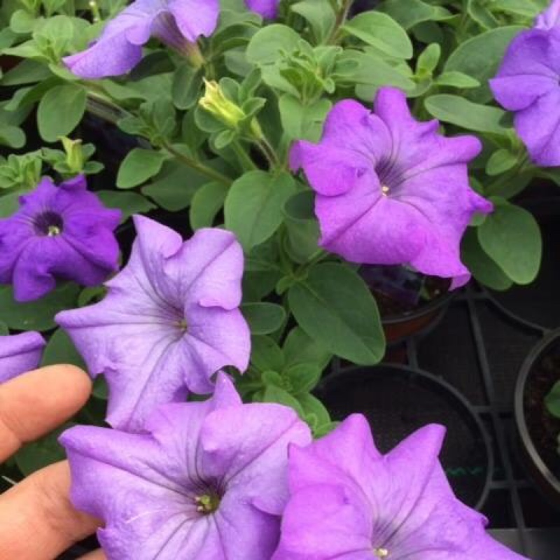 Plant image Petunia Surfinia 'Heavenly Blue'