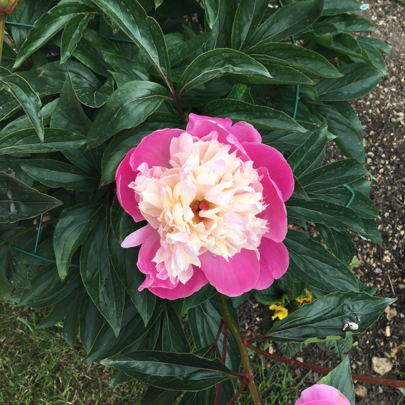 Peony 'Bowl of Beauty' (Herbaceous)