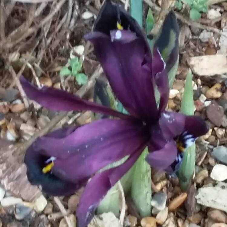 iris reticulata reticulate iris uploaded by perennialgrbs. Black Bedroom Furniture Sets. Home Design Ideas