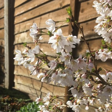 Flowering Cherry 'Kojo-no-mai'