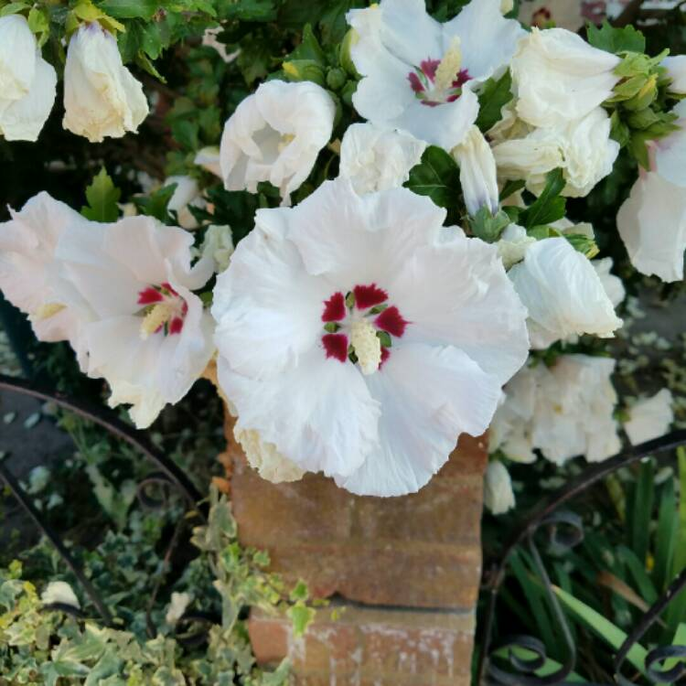 Plant image Hibiscus Syriacus 'Red Heart'