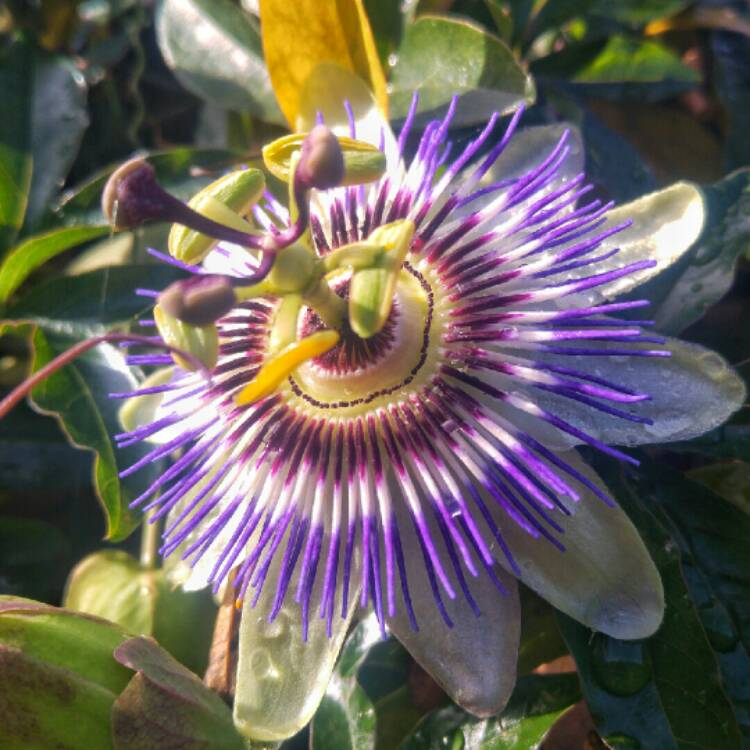passiflora caerulea blue passion flower uploaded by. Black Bedroom Furniture Sets. Home Design Ideas