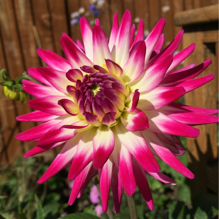 Plant image Dahlia (unknown variety)